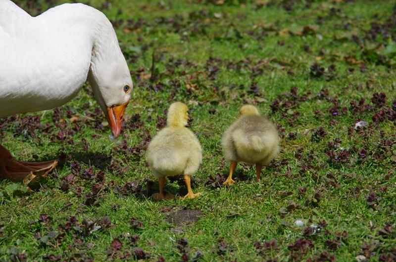 Een gans met twee kuikens op een grasveld in Delden.