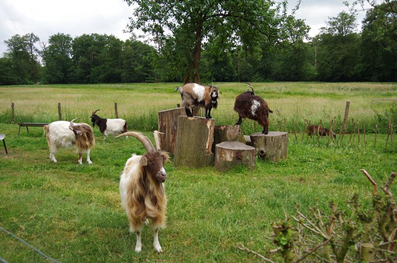 Een groep geiten op een boerderij bij Delden.