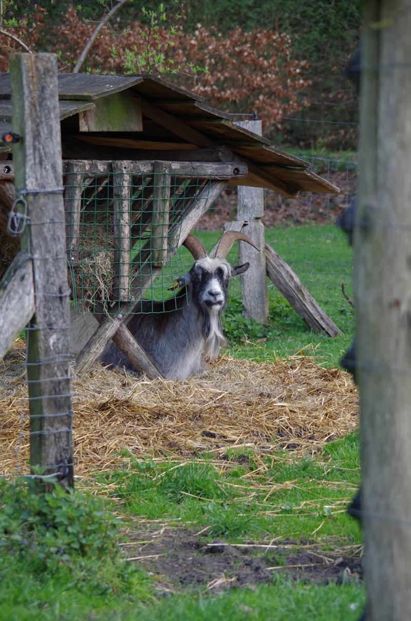 Een geit zittend in het stro op een boerderij bij Delden.