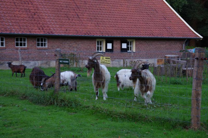 Een groep geiten achter een hek op een boerderij bij Delden.