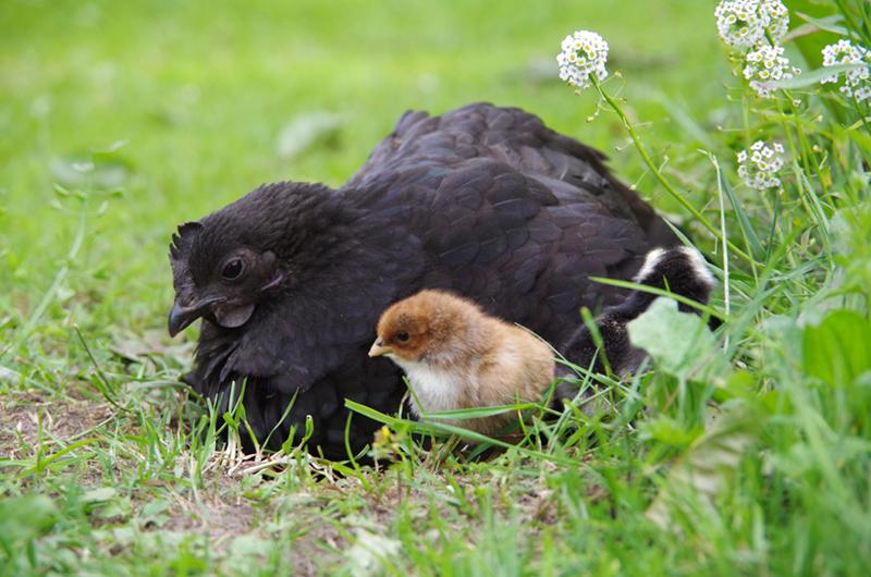 Een zwarte kip en een kuiken in het gras.