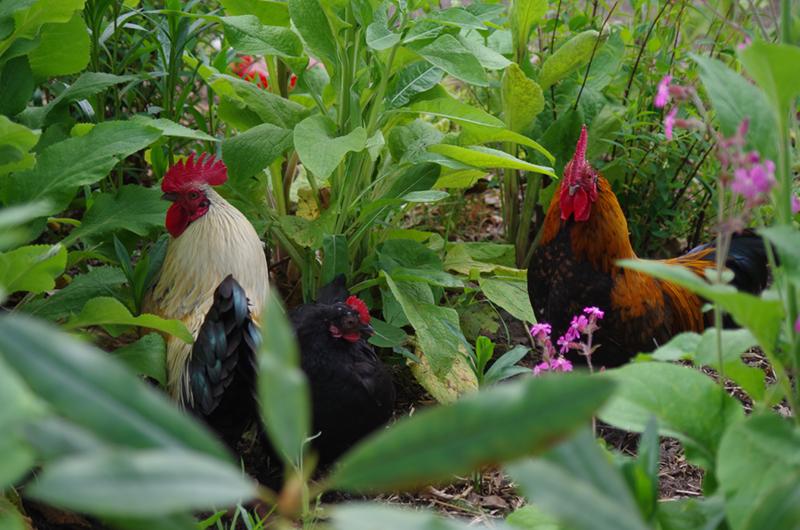 Drie kippen tussen de beplanting.