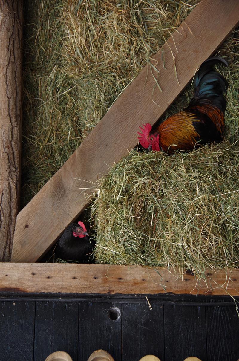 Twee kippen in het stro.