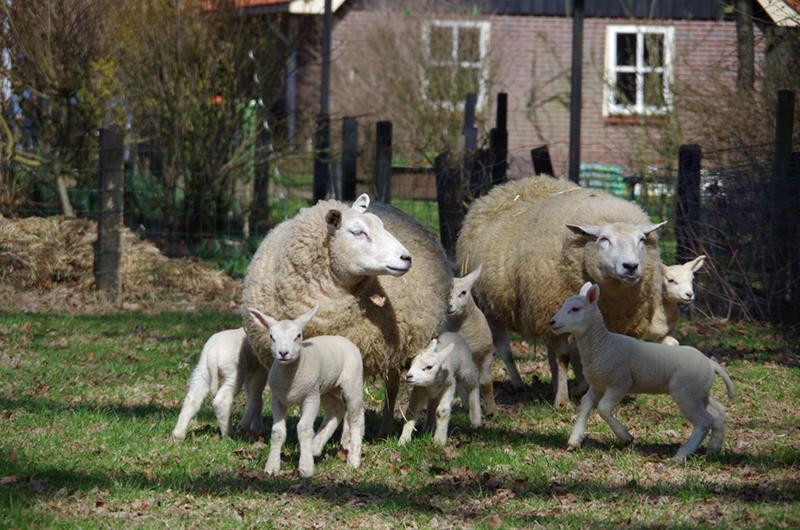 Twee schapen met lammetjes op een grasveld bij Delden.