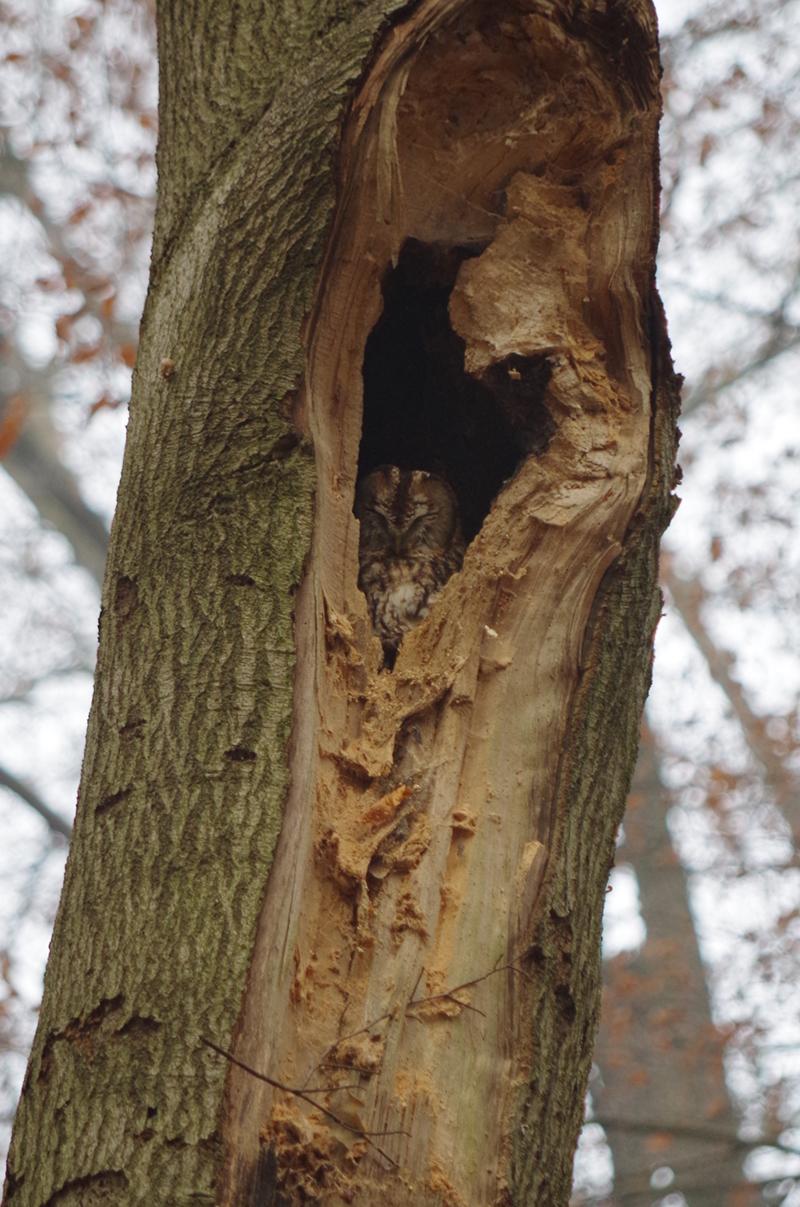 Een uil in een hol in een boom in Twente.